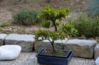 Mon bassin avec ses Kois et son jardin Japonais