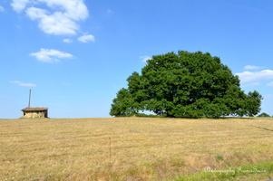 chêne vieux de 350 ans  (3)