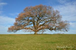 chêne vieux de 350 ans  (5)