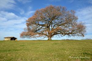 chêne vieux de 350 ans  (6)