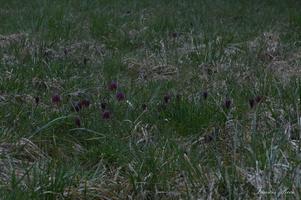 Fritillaire méléagre d'Europe vit dans des zones humides,espèce protégée.