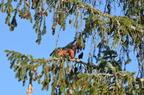 Ecureuil roux dans mon parc