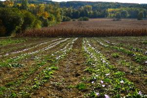 La plantation de safran