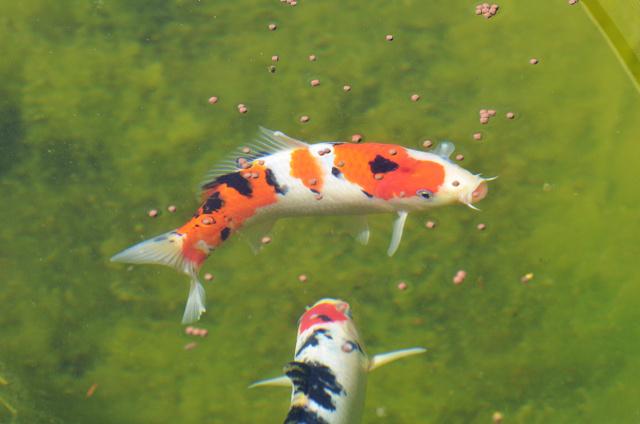 D coration 21 bassin japonais carpe koi asnieres sur seine bassin asnieres sur seine - Bassin japonais carpe koi asnieres sur seine ...