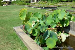 Bassin avec des Lotus