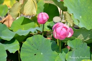 Deux fleurs de Lotus