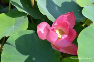 Gros plan sur Lotus