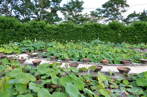 Les bassins de lotus.