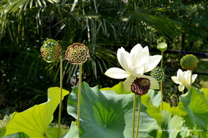 Lotus avec ses fleurs et ses graines