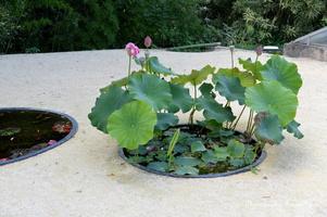 Les lotus sont des plantes rustiques, vigoureuses et imposantes mais ils sont fragiles à la plantation et nécessitent un amendement et un ensoleillement importants. Les lotus peuvent pousser partout en France. Les rhizomes de lotus se plantent au printemp