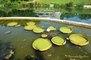 Lotus en bassin