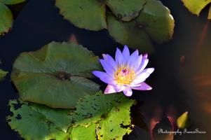 Nymphéas violet