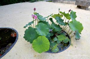 Petit bassin de lotus