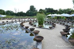 Pots ayant servis pour la culture et l'entretien des nénuphars.