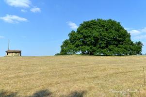 chêne vieux de 350 ans  (1)