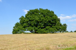chêne vieux de 350 ans  (2)