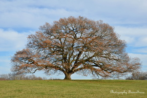 chêne vieux de 350 ans  (4)