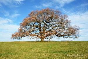 chêne vieux de 350 ans  (7)