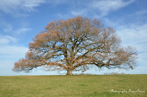 chêne vieux de 350 ans  (8)