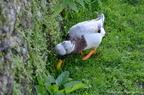 Canard Pompom et Cygne blanc
