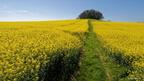 Champ de colza en fleurs de nos campagnes