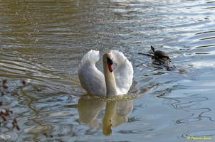 Cygne blanc  et tortue d'eau(47)