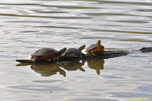 Cygne blanc  et tortue d'eau(48)