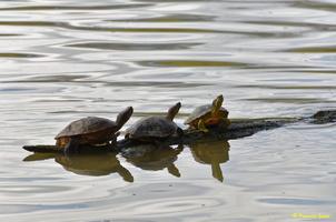 Cygne blanc  et tortue d'eau(49)
