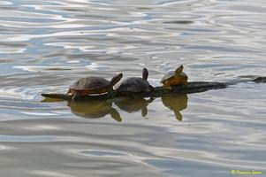 Cygne blanc  et tortue d'eau(50)
