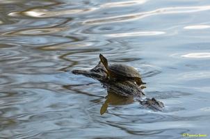 Cygne blanc  et tortue d'eau(51)