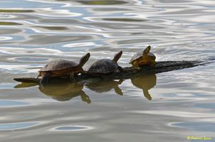 Cygne blanc  et tortue d'eau(52)