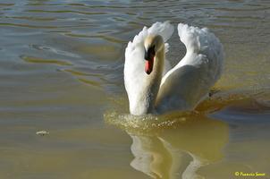 Cygne blanc (22)