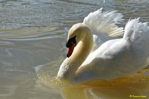 Cygne blanc (26)