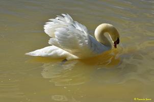 Cygne blanc (28)