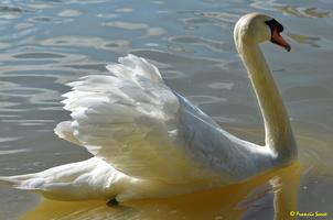 Cygne blanc (34)